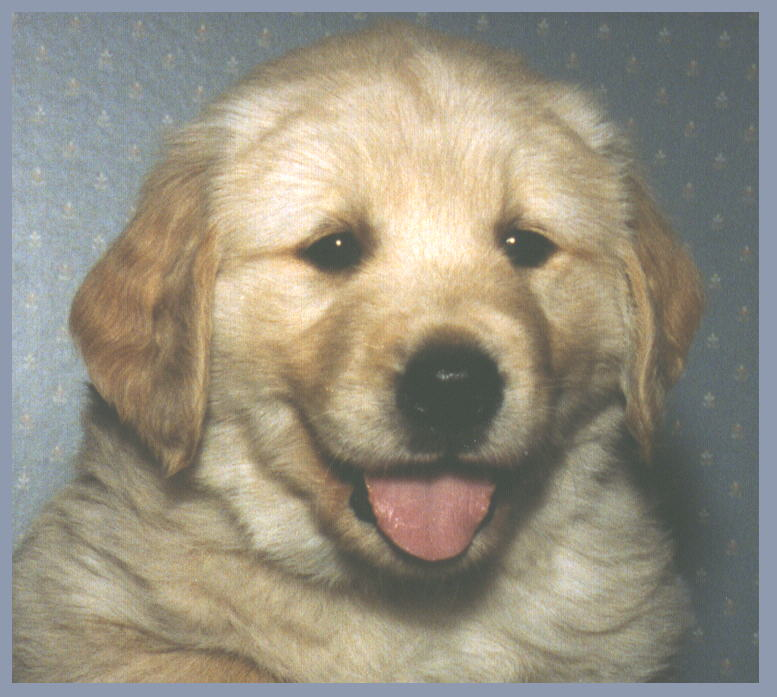 golden retriever puppy pictures. Our golden retriever puppies